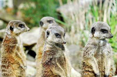 Meerkat Photograph - Meerkats by Heiti Paves