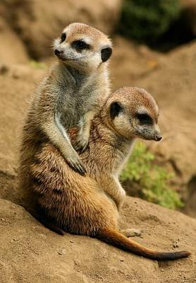 Photograph - Meerkats by Jane Girardot