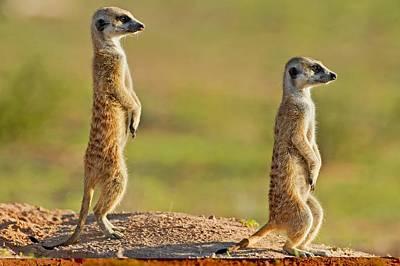 Meerkats Keeping Watch Art Print