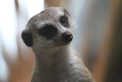 Meerkat Photograph - Meerket - National Zoo - 01133 by DC Photographer