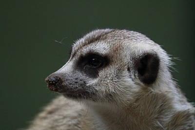 Meerkat Photograph - Meerket - National Zoo - 01137 by DC Photographer