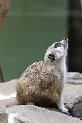 Meerkat Photograph - Meerket - National Zoo - 01138 by DC Photographer