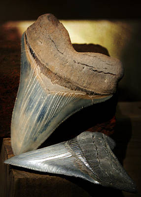 Photograph - Megalodon Fossil Shark Teeth by Rebecca Sherman
