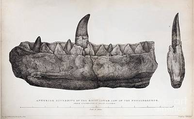 Buckland Photograph - Megalosaurus Jaw, Buckland, 1824 by Paul D. Stewart
