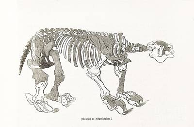 Ground Sloth Photograph - Megatherium Skeleton, 19th Century by Middle Temple Library