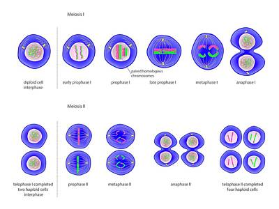 Meiosis Cell Division Art Print by Science Photo Library