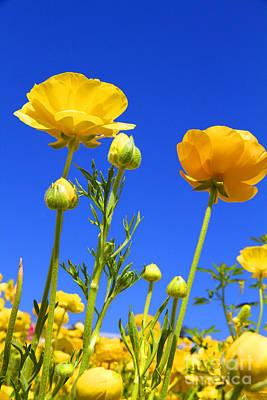 Photograph - Mellow Yellow Ranunculus Flowers By Diana Sainz by Diana Raquel Sainz