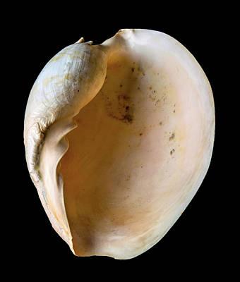 Whorl Photograph - Melo Amphora by Natural History Museum, London