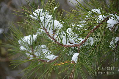 Photograph - Melting Snow In The Pines by Maria Urso