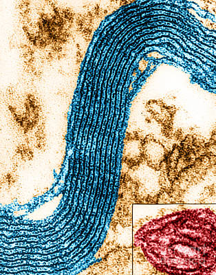 Membrane Ultrastructure In Nerve Cells Art Print
