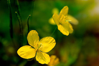 Photograph - Memories Of The Buttercup by Denyse Duhaime