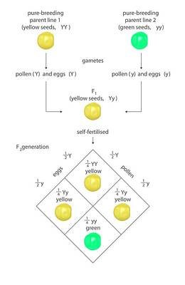 Heredity Photograph - Mendelian Genetics by Science Photo Library