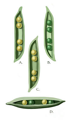 Photograph - Mendels Peas by Spencer Sutton