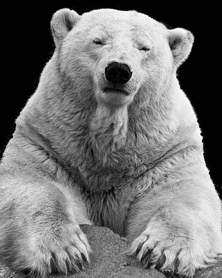 Photograph - Mercedes The Polar Bear by Ross G Strachan