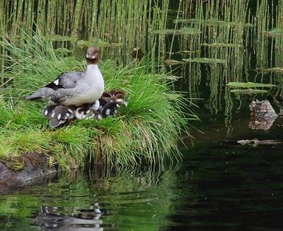 Photograph - Merganser Family by Karen Horn