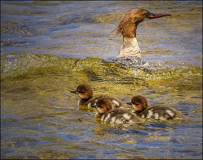 Waterfowl Photograph - Merganser Lake Tahoe by LeeAnn McLaneGoetz McLaneGoetzStudioLLCcom