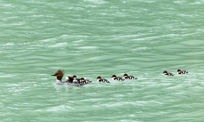 Photograph - Merganser Mama by Nathan Mccreery