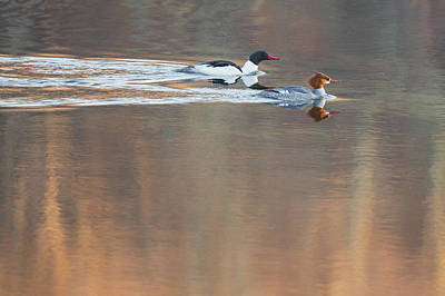 Photograph - Merganser Morning by Bill Wakeley