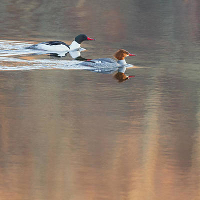 Photograph - Merganser Morning Square by Bill Wakeley