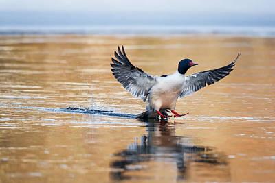 Drake Photograph - Merganser Tail Landing by Bill Wakeley