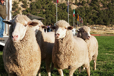 Trial Photograph - Merino Sheep, Flags In Background by Piperanne Worcester