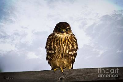 Photograph - Merlin Falcon by Ms Judi