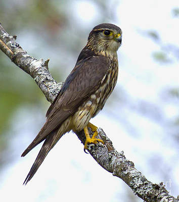 Photograph - Merlin Falcon by Nancy Dempsey