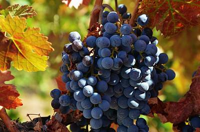 Photograph - Merlot Wine Grapes  by Marilyn MacCrakin