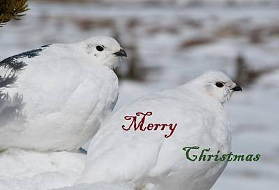 Photograph - Merry Christmas - Winter Ptarmigan by Cascade Colors