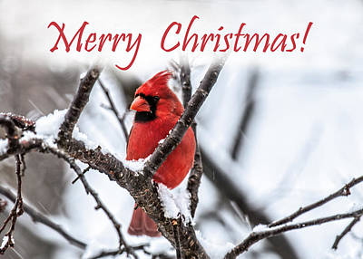 Photograph - Merry Christmas Cardinal 2 by Lara Ellis