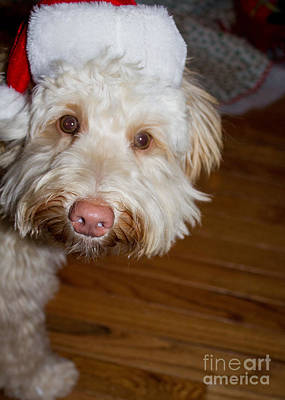 Photograph - Merry Christmas From A Labradoodle by Sandra Clark