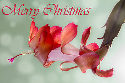 Old Masters - Merry Christmas - Flowering Cactus by Patti Deters