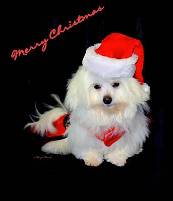 Maltese Dog Christmas Cards Wall Art - Photograph - Merry Christmas...... by Tanya Tanski
