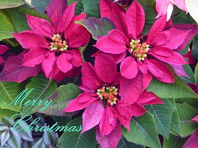 Winter Blooming Houseplant Photograph - Merry Christmas To You by Lingfai Leung