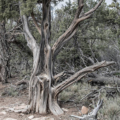 Photograph - Mesa Verde Juniper by Alan Toepfer
