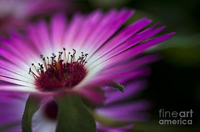 Flora Photograph - Mesembryanthemum 1 by Steve Purnell