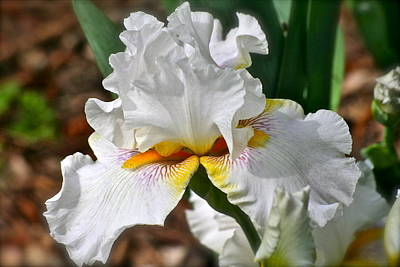 Photograph - Mesmerizer Iris by Eve Spring