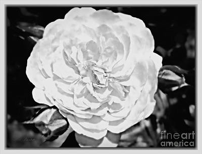 Photograph - Classic White English Rose by Kimberlee Baxter