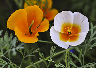 Photograph - Mexican Gold Poppies by Lee Kirchhevel