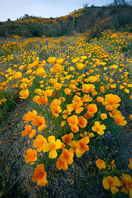 Arizona Photograph - Mexican Gold Poppies by Susan  Degginger