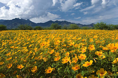 Madera Canyon Photograph - Mexican Golden Poppies Arizona by Tom Vezo
