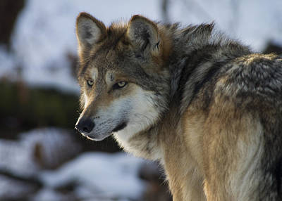 Photograph - Mexican Gray Wolf by Larry Bohlin