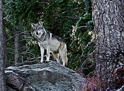 Canines Digital Art - Mexican Grey Wolf Digital Art by Ernie Echols