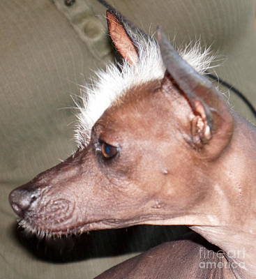 Photograph - Mexican Hairless Dog 1 by Rachel Munoz Striggow