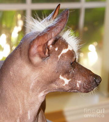 Photograph - Mexican Hairless Dog 10 by Rachel Munoz Striggow