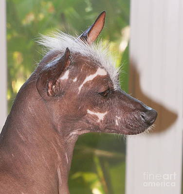 Photograph - Mexican Hairless Dog 3 by Rachel Munoz Striggow