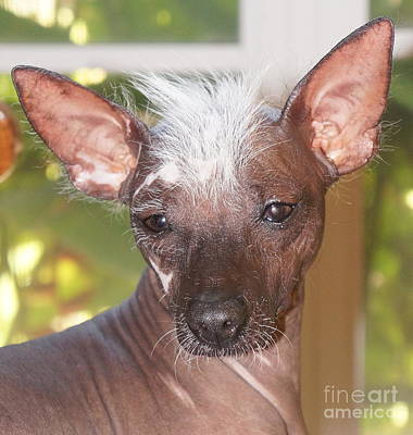 Photograph - Mexican Hairless Dog 5 by Rachel Munoz Striggow