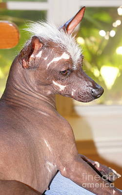 Photograph - Mexican Hairless Dog 8 by Rachel Munoz Striggow