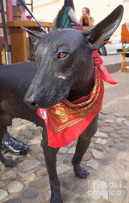 Photograph - Mexican Hairless by Rachel Munoz Striggow