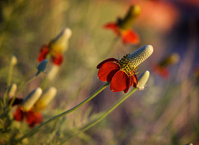 Photograph - Mexican Hat Ratibida Columnifera by Mary Lee Dereske
